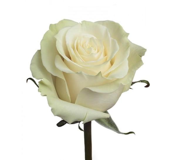 """Роза """"Mondial"""""""